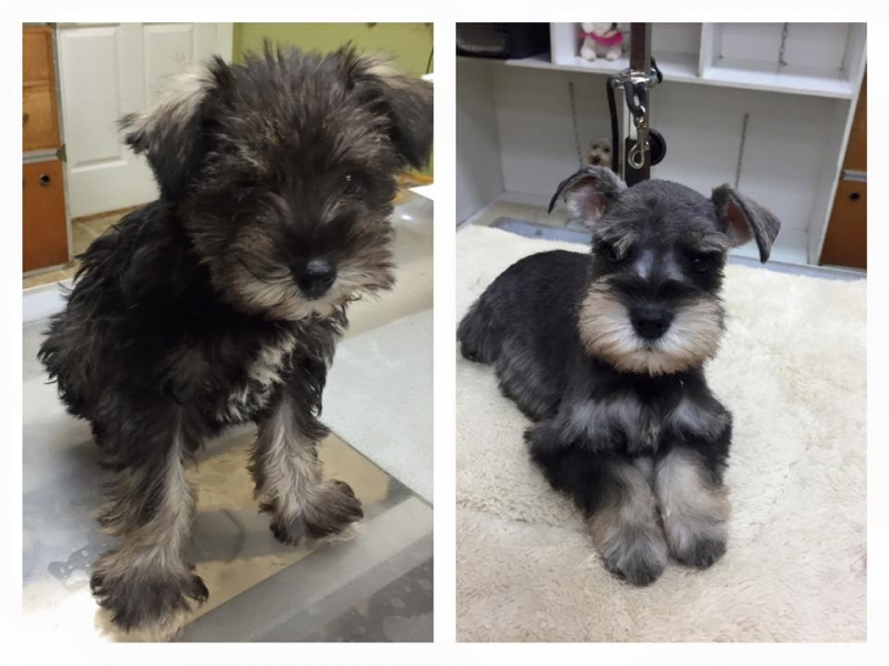 Grooming A Schnauzer Puppy